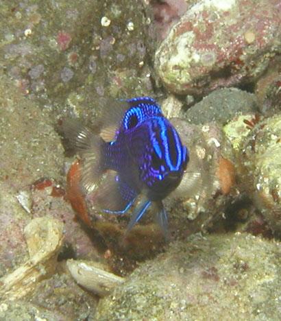 دامسل کورتز ( cortez damsel fish )